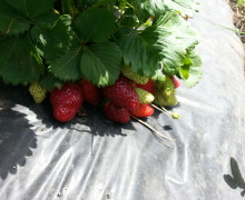 Impianto per la coltivazione di fragole con ala gocciolante. manichetta e pacciamatura. Coltivazione ortaggi e frutti