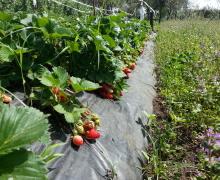 Impianto per coltivare fragole con ala gocciolante. manichetta e pacciamatura. Coltivazione ortaggi e frutti