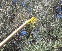Rastrello raccogli olive