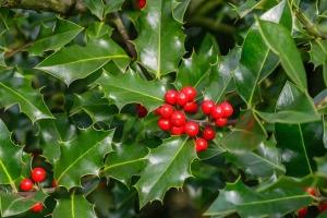 L'agrifoglio (Ilex aquifolium) pianta natalizia
