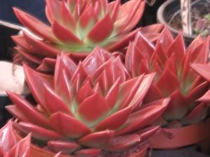 Echeveria, pianta grassa della famiglia delle crassulaceae