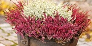 Erica rossa in vaso, decorazione natale