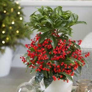 Ardisia crenata , pianta con bacche rosse. decorazione natalizia