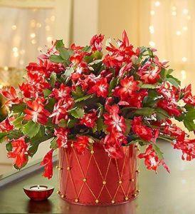Decorazione natalizia con il cactus di natale